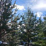 Tasmania Pine Forest