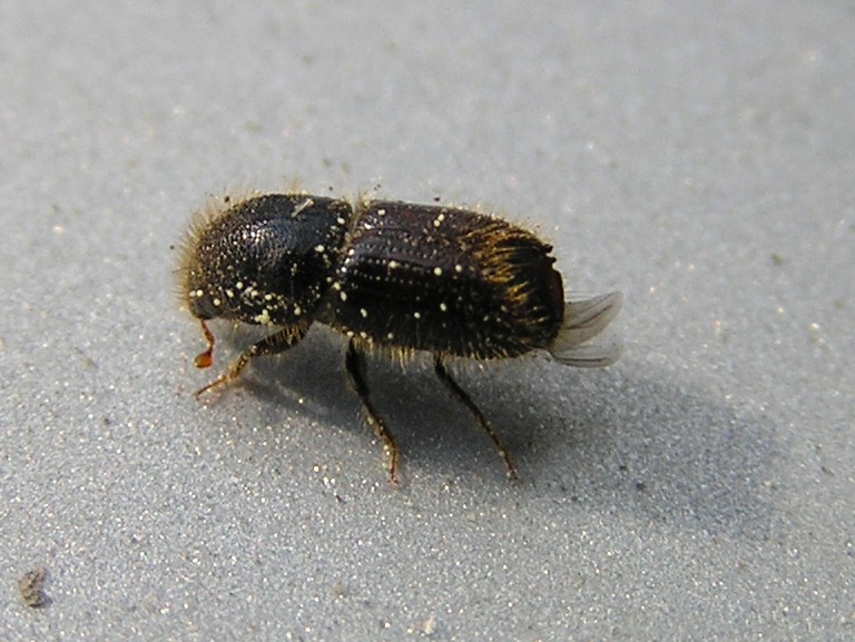 Spruce Bark Beetle